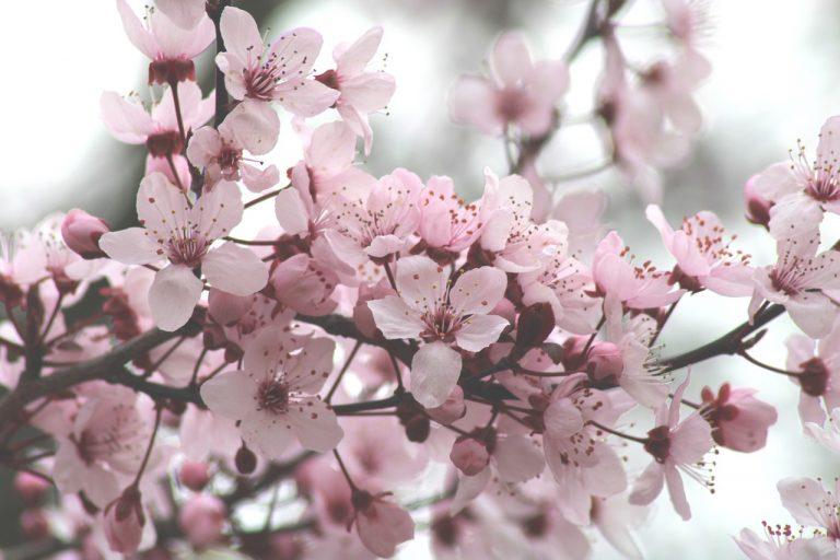Bunga sakura musim semi Korea Selatan